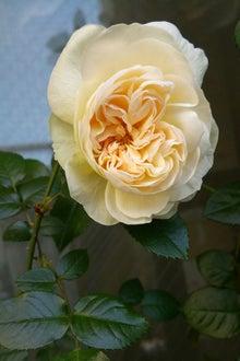 rose150508