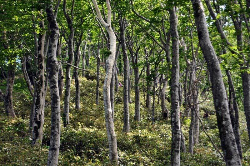 二ツ森のブナ林のぼり