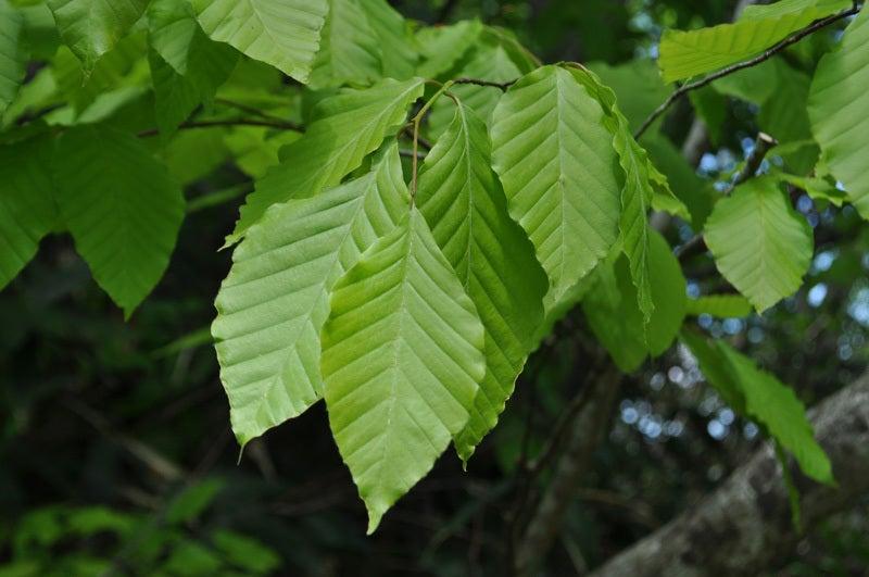 二ツ森のブナの葉