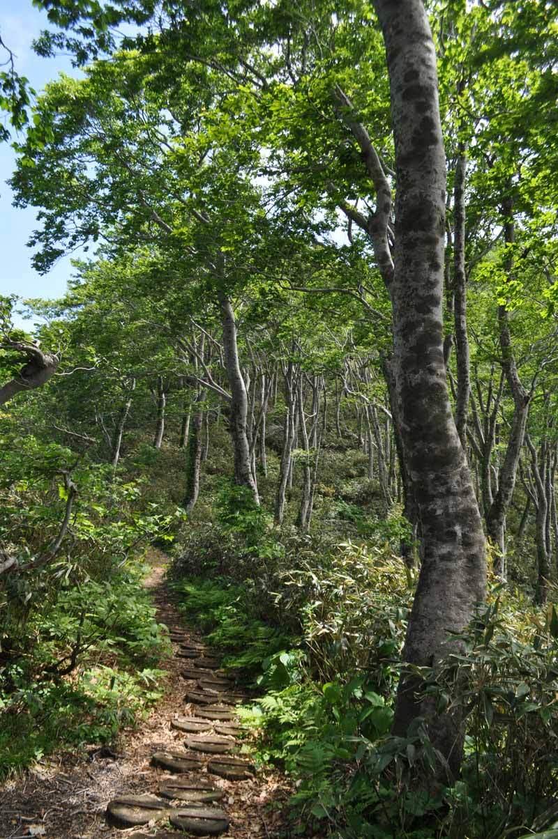 二ツ森のブナ林