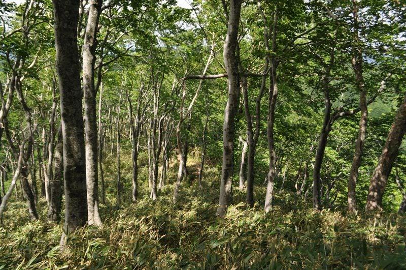 二ツ森のブナ林くだり