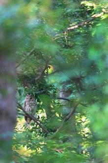 フクロウ親鳥