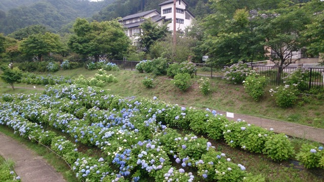 鳥居原の紫陽花