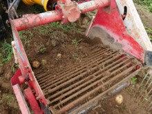 掘り起こされた芋