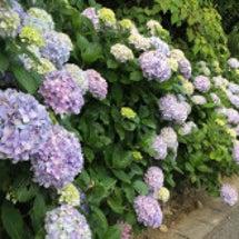紫陽花が見ごろです