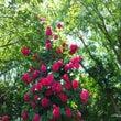 薔薇15|かつしか亀…