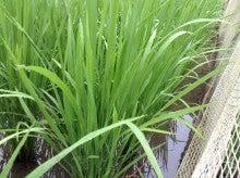 アイガモ米生育状況
