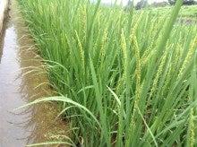 アイガモ米 生育状況