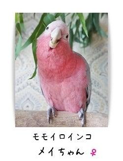 モモイロインコ メイちゃん