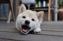 子犬のドッグフード