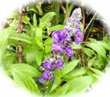 雨の中紫の花