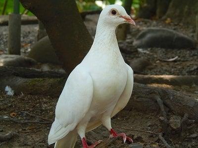 鶴岡八幡宮白いハト