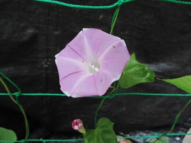 うす紫の朝顔