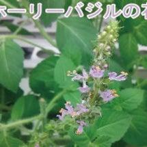 ホーリーバジルの花が…