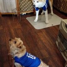 秋田犬はやちゃん、元…