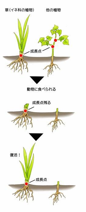 植物の成長点