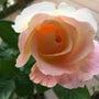 薔薇きれい