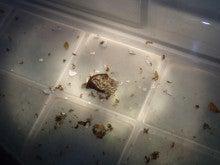 ゲンジボタルの幼虫 餌 カワニナ04