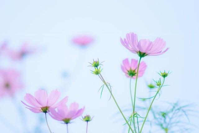 青空に溶けるピンク色のコスモス