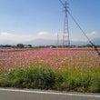 秋桜が見ごろです!!
