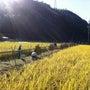 昔ながらの稲刈り体験…