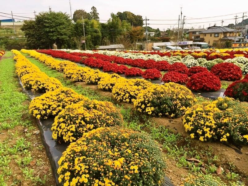 ざる菊 あつぎ飯山秋の花まつり