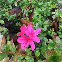 11月のサツキの花