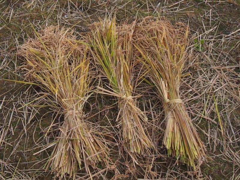 刈り取った稲