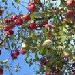 リンゴ 青森 世界一