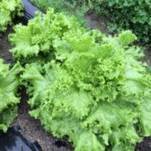 無肥料・無農薬春菊と…