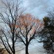 夕日に照らされる欅の…
