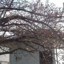内船駅の桜が咲いてま…