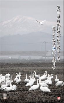 フォト短歌「白鳥」