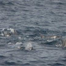 クジラのメイティング…