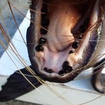 アシカの歯