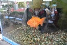 金魚と言えば郡山