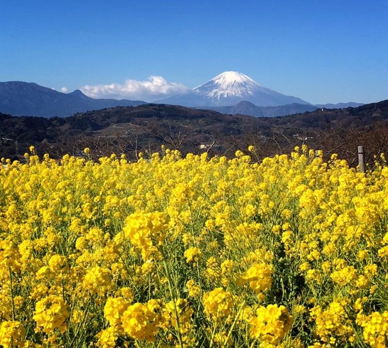 吾妻山 菜の花