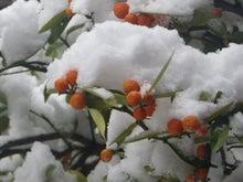 雪キンカン2