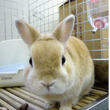 うちのウサギ