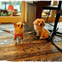 愛犬!チワワ&ペキプ…