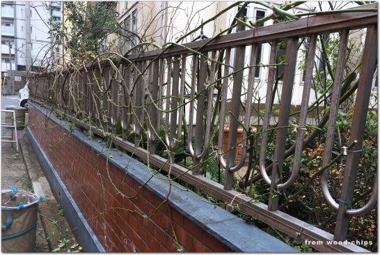 川口市 バラの庭 管理作業 誘引