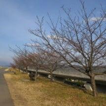 伊豆の国市内の桜の開…