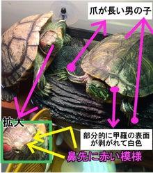 迷子亀 東京練馬