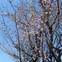 茶畑の梅の花が開花し…