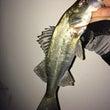 集魚効果と常夜灯の種…