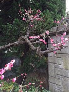 2月17日紅梅の木