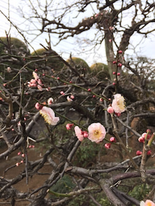 2月19日白梅の花