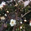 春の花。うめの花。