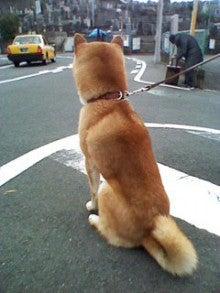 迷子の柴犬くん