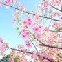 春色和菓子